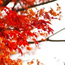 *紅葉イメージ/大山の「もみじ祭り」では夜間のライトアップも☆
