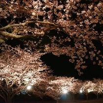 一戦場公園の夜桜
