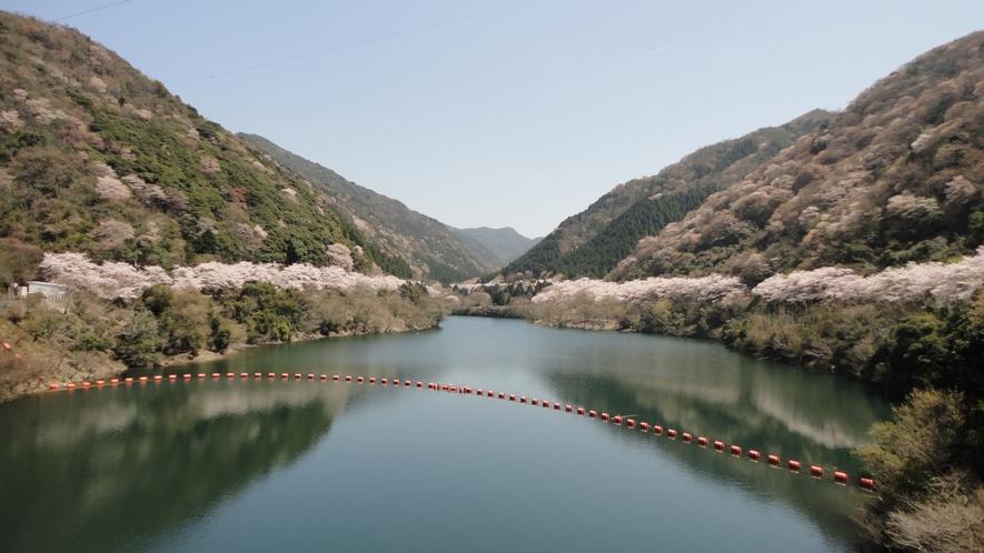 ★【諭鶴羽ダムの桜】一帯を包む山桜がお楽しみいただけます(お車で約30分)