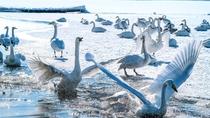 **屈斜路湖/シベリアからの冬の使者「オオハクチョウ」が10月~4月の間、飛来します。
