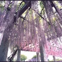 【ふじふれあい館】藤岡市にあり、4月下旬から5月中旬まで藤祭りを開催。車で30分