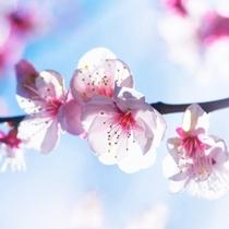 *湯河原梅林「梅の宴」は夜間ライトアップも開催