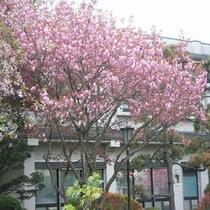 自慢の歴史ある庭園【5月桜】