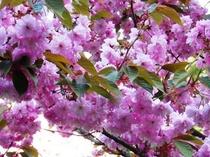 庭園の桜【見頃は4月下旬〜5月上旬】