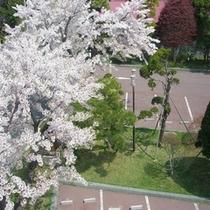 自慢の歴史ある庭園【4月桜】