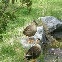 鴨の親子がお散歩中♪【庭園横池】