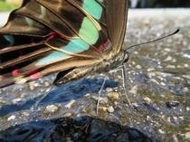 蝶のおしっこ