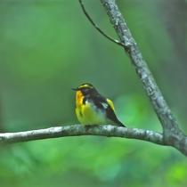 【奥入瀬の森 バードウォッチング】(春)