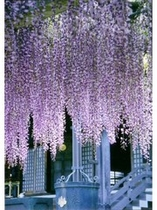 妙福寺の藤