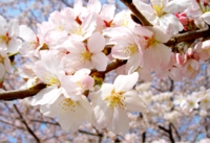 三ッ池公園は日本さくら名所100選の1つ