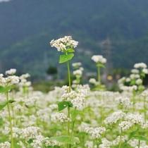 【春・秋】蕎麦の花~秩父は蕎麦の産地~