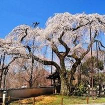 【春】「清雲寺」のしだれ桜 樹齢600年の荘厳なしだれ桜を是非ご鑑賞ください!