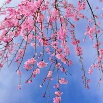 【春】春と言えば「さ・く・ら」秩父の春は桜がいっぱい♪