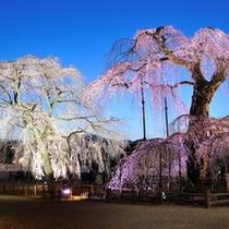 【春】清雲寺枝垂れ桜