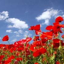 【春~夏】彩の国「高原牧場」ポピー畑 天空の真っ赤な花畑♪