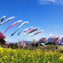 【春】秩父市久那地区の鯉のぼり・谷から谷へと鯉が泳ぐ姿は圧巻!
