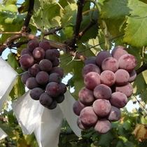 【夏~秋】秩父産の美味しい葡萄