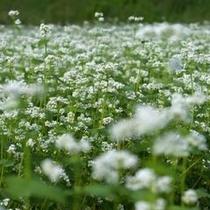 【春~夏】秩父の荒川地区はお蕎麦の産地としても有名!