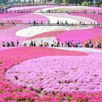 【春】秩父羊山公園 〜まるでピンクの絨毯のよう〜芝桜