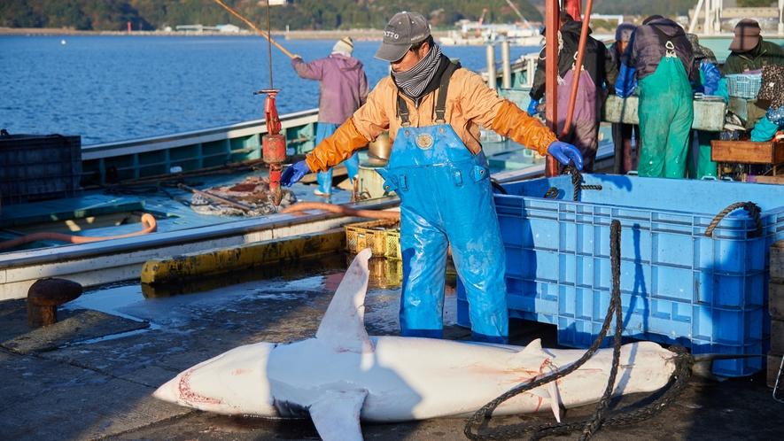 【北浦古江漁港】人より大きいフカがあがりました!