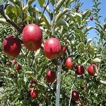 おいしい信州のりんご食べ放題♪りんご狩りプラン【秋】