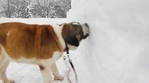*【フジコ】大好きな雪をたくさん食べながらお散歩♪