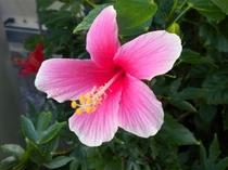 1月現在でも敷地内にはこの様なハイビスカスが咲いています(害虫駆除が案外大変です)