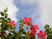 3月の沖縄 ハイビスカスがすくすくと育っています