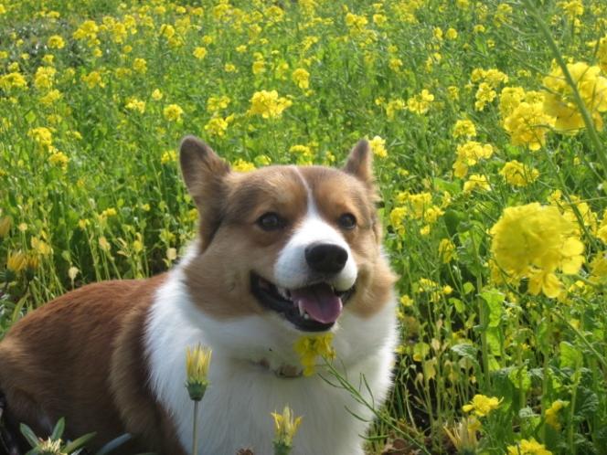 伊豆四季の花公園の菜の花畑