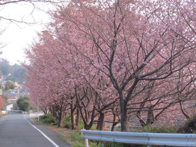 3月に入ると富戸港沿いに城ケ崎桜見られます