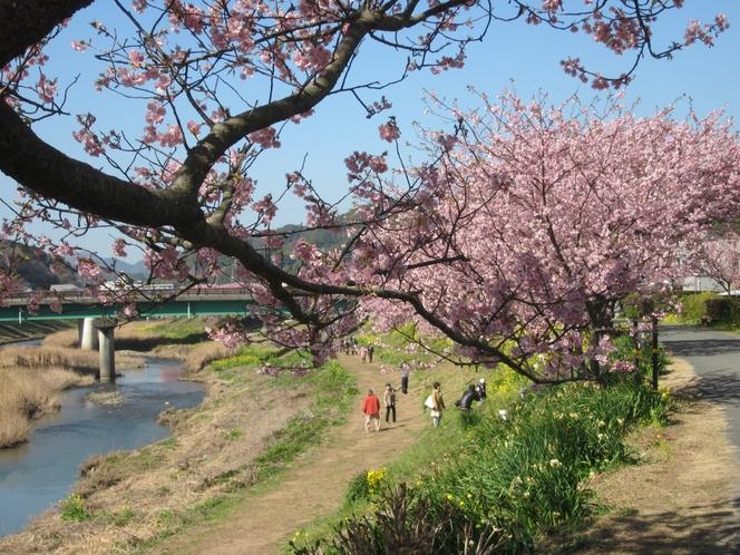 青野川の河津桜