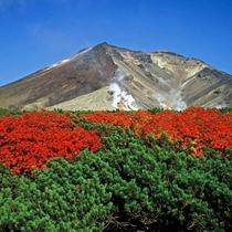 【旭岳の紅葉(秋)】秋晴れの青空にナナカマドの赤がよく映え、美しい風景を織成します。