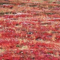 【チングルマ葉紅葉(秋)】まるで赤いじゅうたんのように、足元に広がるチングルマの葉紅葉。
