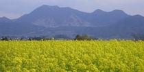 菜の花畑と高社山