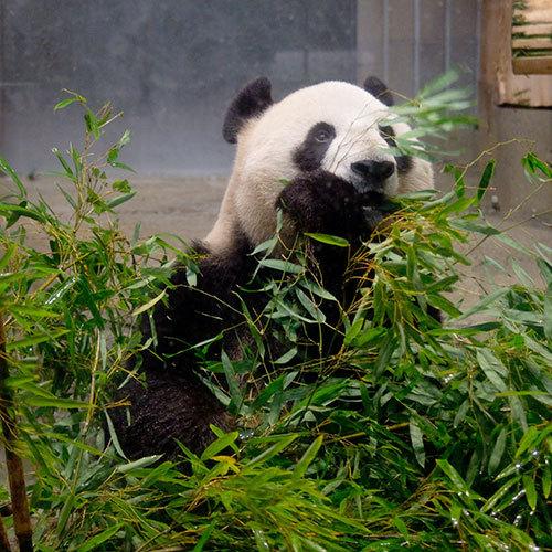 パンダ(1)
