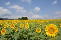 「丹生湖ひまわり畑」画像提供:富岡市 ※丹生湖までは当宿からお車で約20分