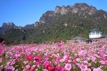 「妙義山パノラマパークのコスモス」画像提供:富岡市 ※妙義山までは当宿からお車で約20分