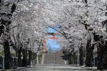 「貫前(ぬきさき)神社の桜のアーチ」※画像提供:富岡市 貫前神社までは当宿からお車で約15分