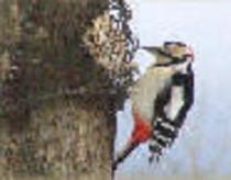 啄木鳥「アカゲラ」のドラミングが山麓に木霊します。