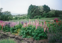 5月の花畑ルピナス