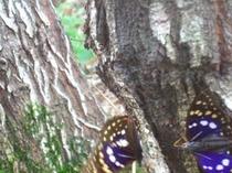 バーベキュー広場の裏の林へ国蝶オオムラサキが訪問