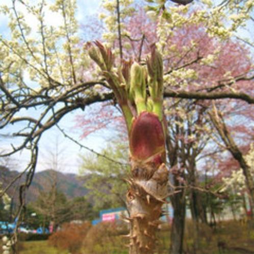 *春の風に芽吹く、たらの芽。