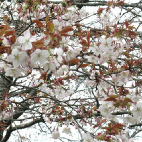 *はかなさが美しい、山桜。