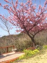 庭の河津桜♪