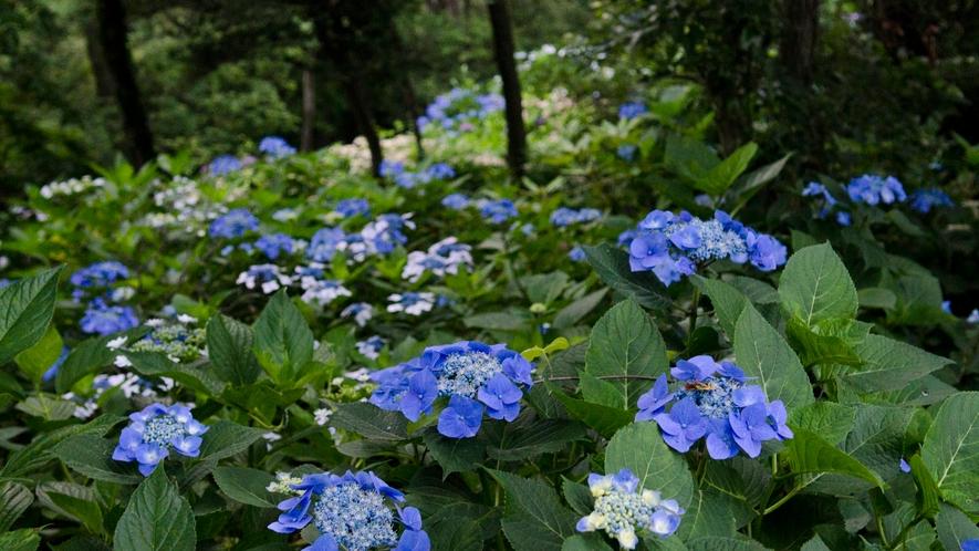 ◆あじさい園 知多半島が一望できるほか、6月初旬~中旬頃にになると1万株のあじさいが咲き乱れます。