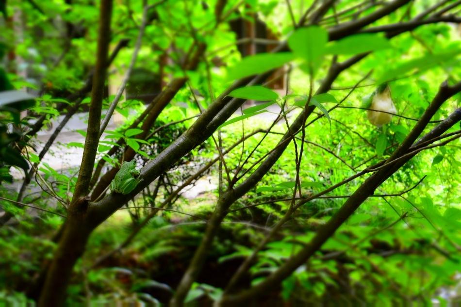 今年も天然記念物のモリアオガエルが当館中庭に卵を産みました。 観賞時期は、5月下旬〜6月下旬頃