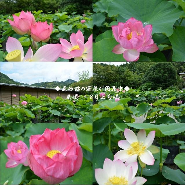 真砂館の蓮花が6月13日に開花しました。見頃は8月上旬頃