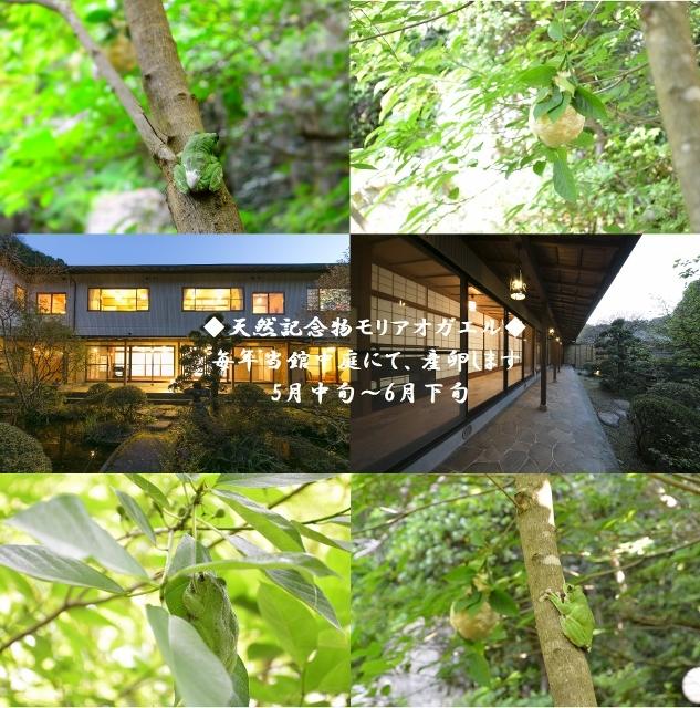 天然記念物のモリアオガエルが毎年当館中庭にて産卵いたします。