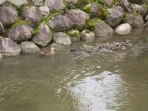 親子鴨の遊泳練習!