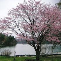 湯本温泉湯ノ湖畔の米桜